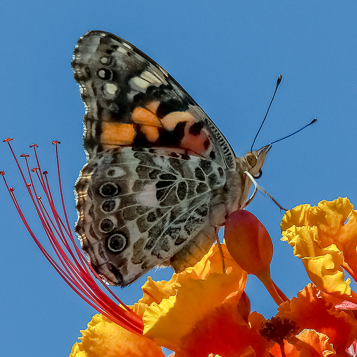 Painted Lady-0419-Closeup-blog