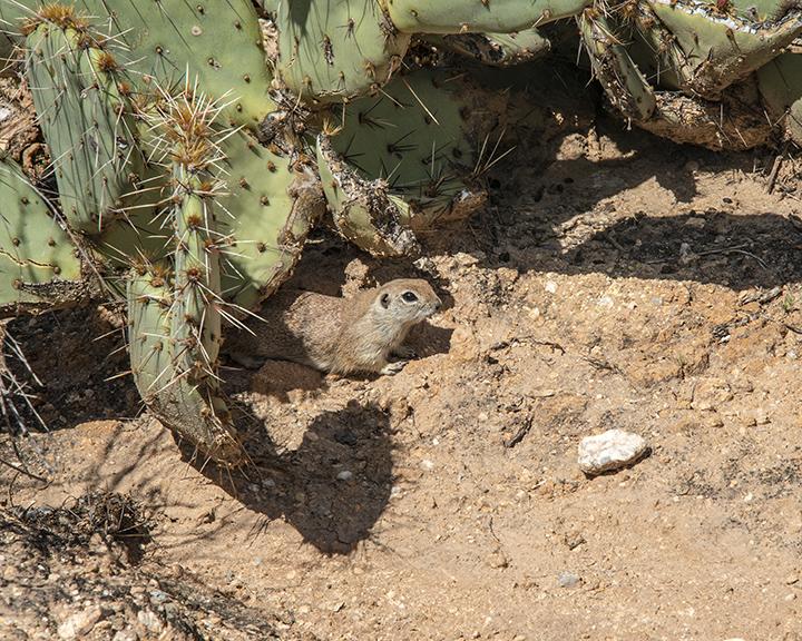 Roundtail Ground Squirrel-2 blog