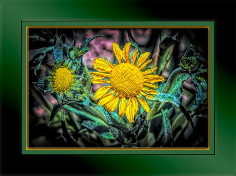 Western Sneezeweed-Edit-1-blog