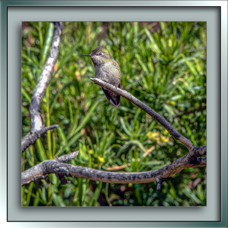 Anna's Hummingbird-Edit-1-blog
