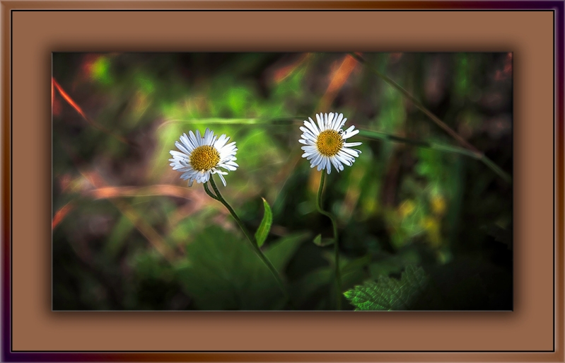 Arizona Fleabane-Edit-1-blog