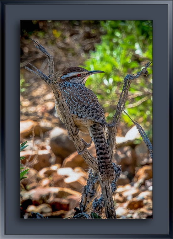 Cactus Wren-blog