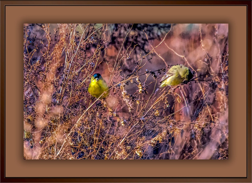 Common Yellowthroat Warbler-Edit-1-blog-1