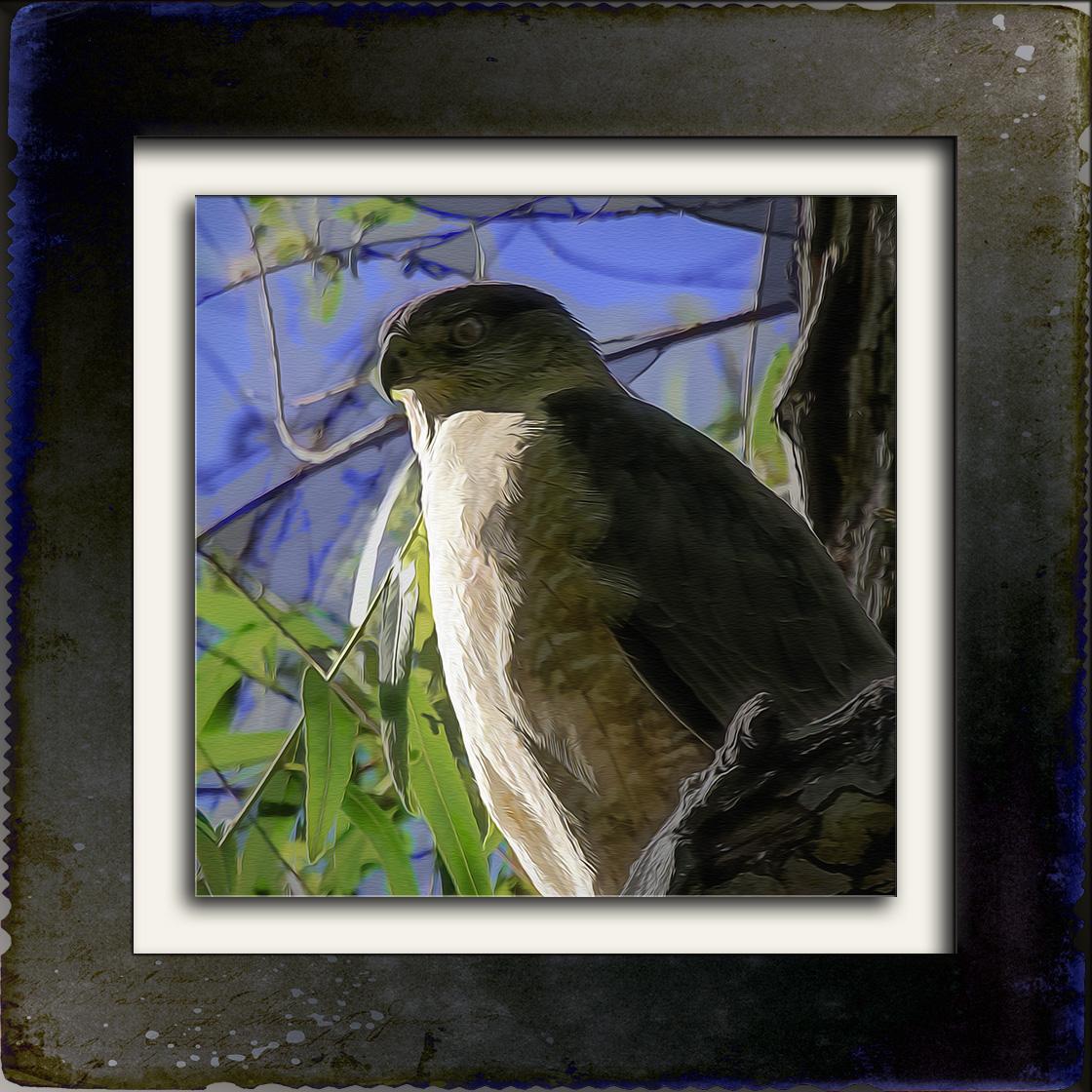 Cooper's Hawk-Edit-3-Art-blog