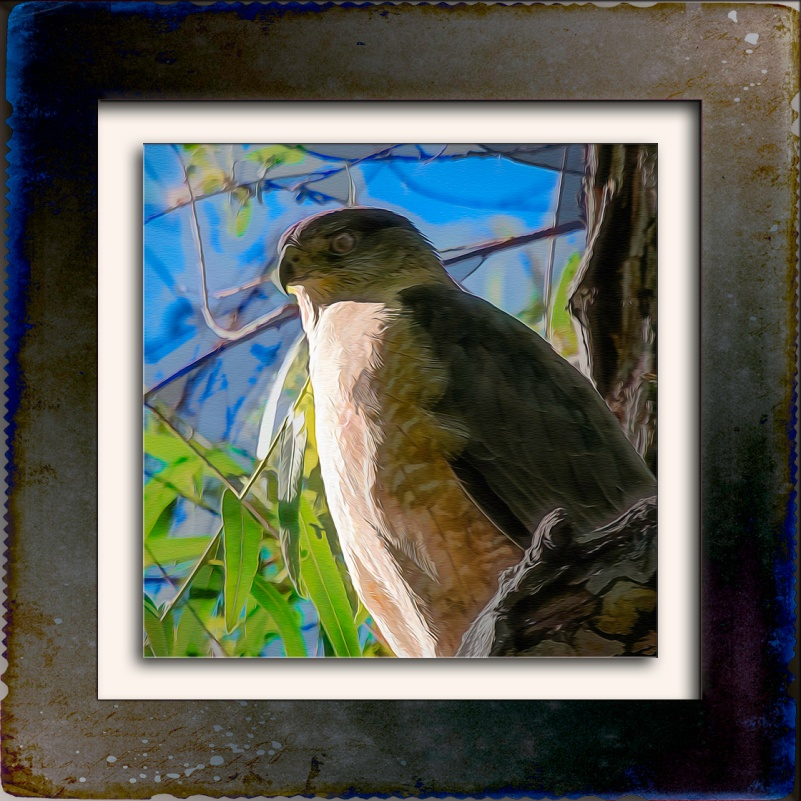 Cooper's Hawk-Edit-3-Art-blog