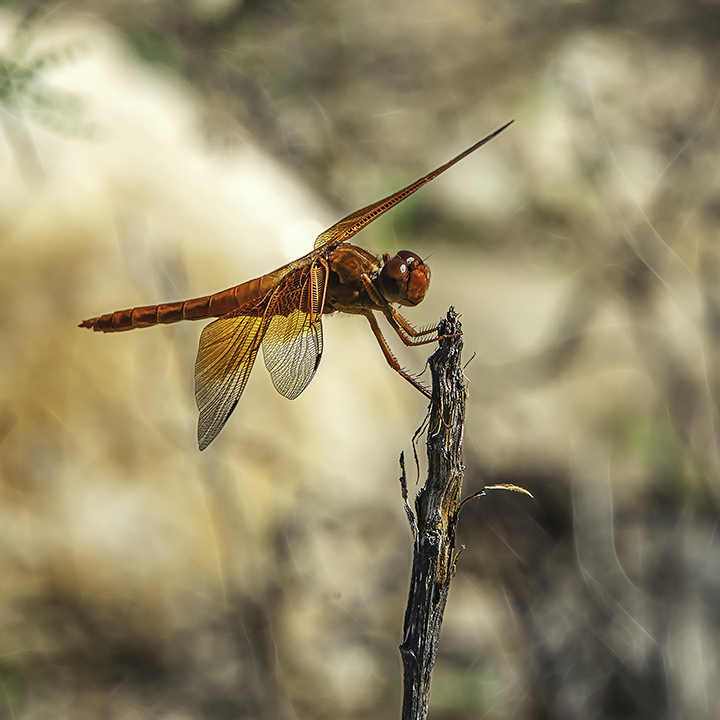 Flame Skimmer-Edit-2-blog