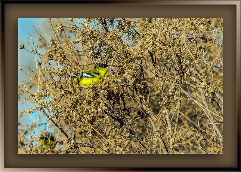 Lesser Goldfinch-2-blog