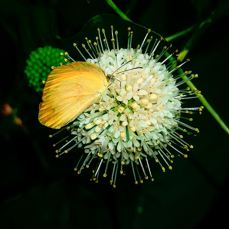 Lyside SUlphur Butterfly (1 of 1)-blog