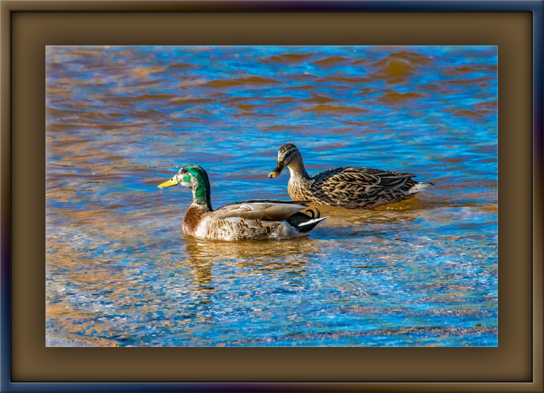 Mallard Ducks-2-blog
