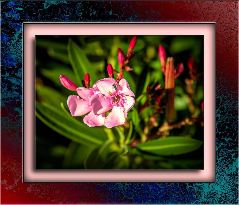 Oleander Blossom-Edit-1-blog