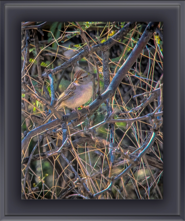 Rufous-winged Sparrow-Edit-1-art-blog