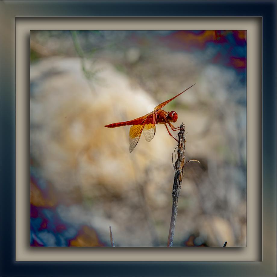Arizona Red Skimmer Dragonfly-blog
