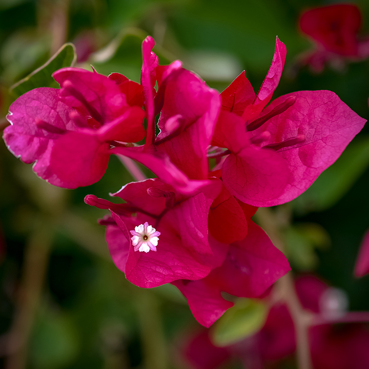 Bougainvillea-3-blog