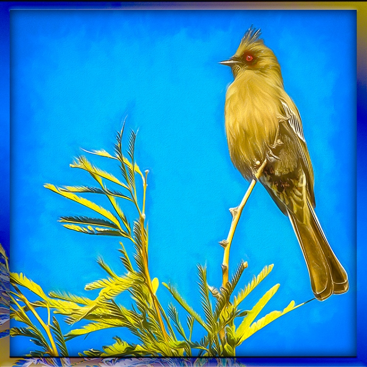 Female Phainopepla-Edit-1-art-blog