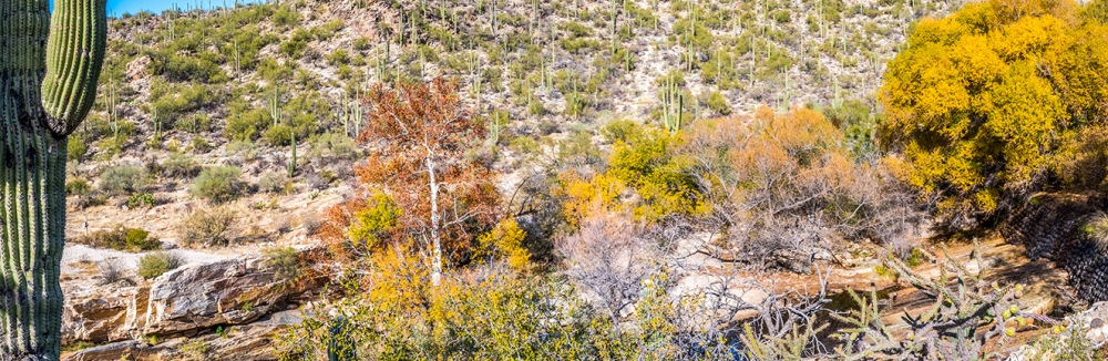 Sabino Canyon Fall Colors Panorama--3 blog
