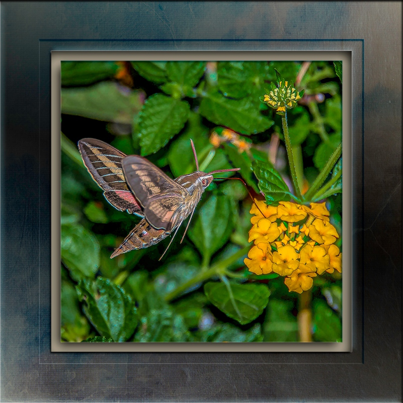 White-lined Sphinx Moth-Edit-2-blog