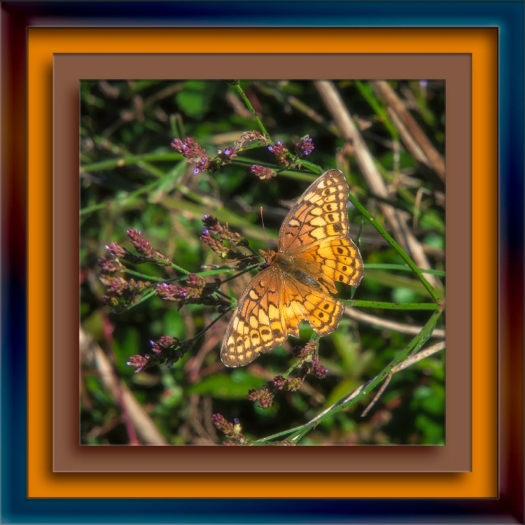 Variegated Fritillary-Edit-1-blog