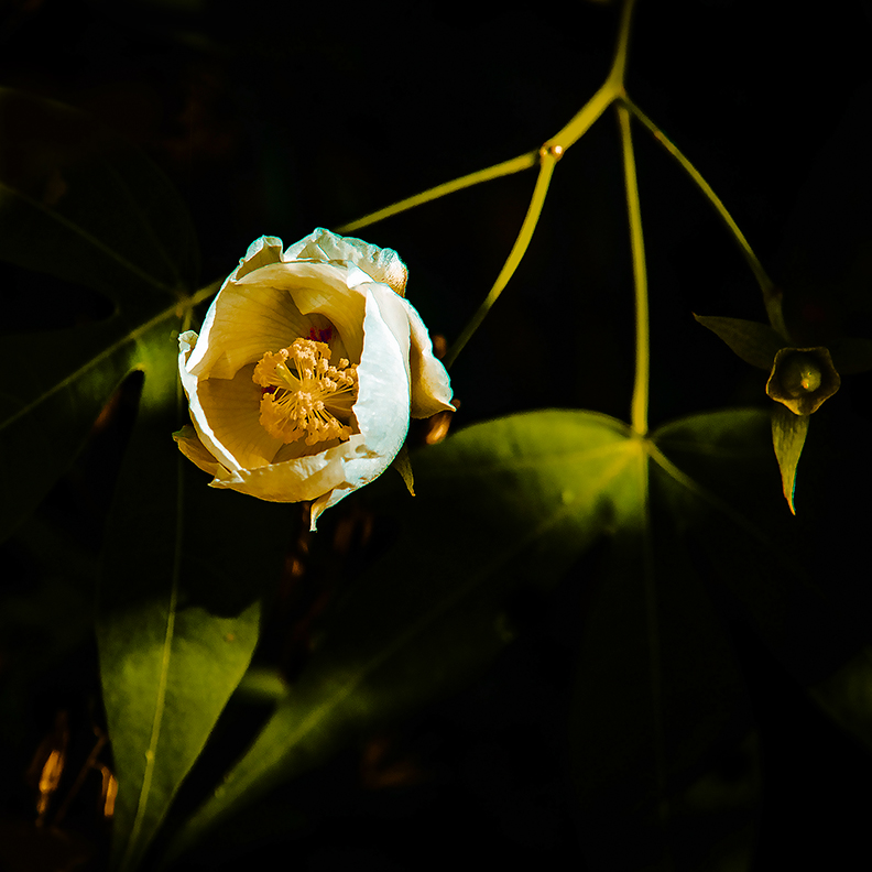 Wild Cotton Blossom-blog