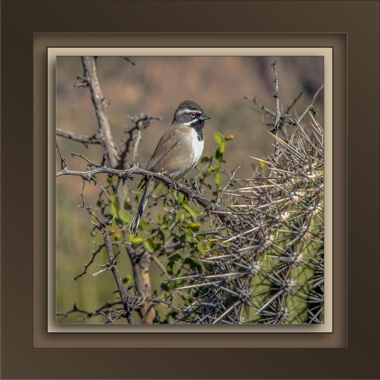 black-throatedsparrow-72