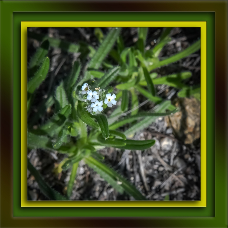 clearwater cryptantha-72