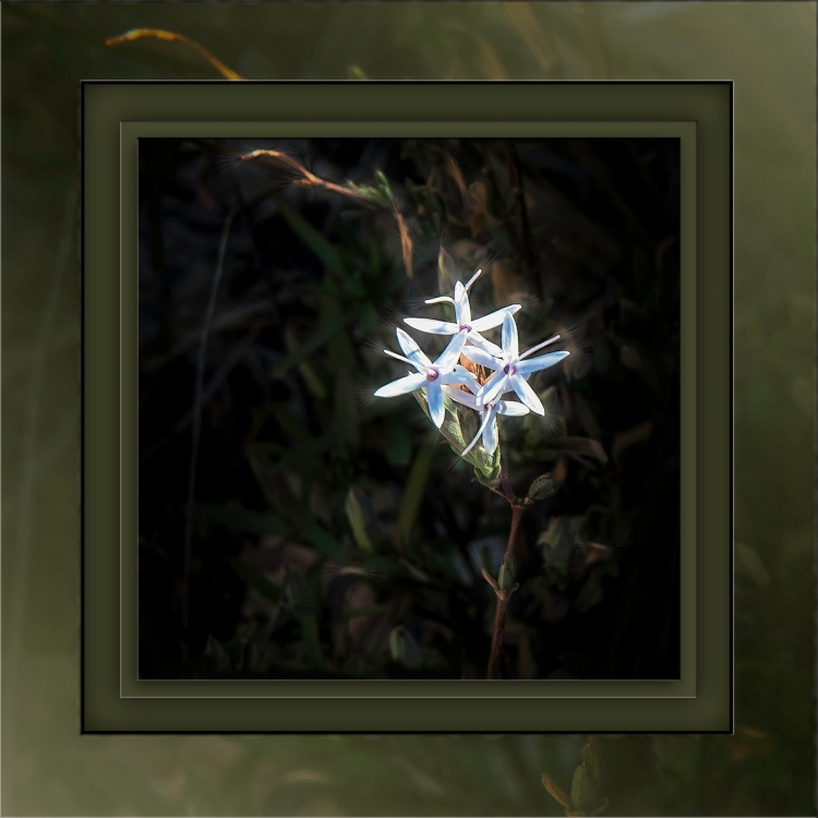 desert phlox-edit-1-art-sq-72