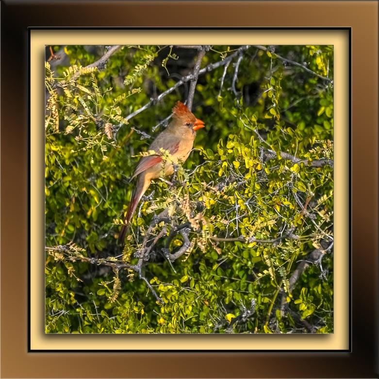 female cardinal-72