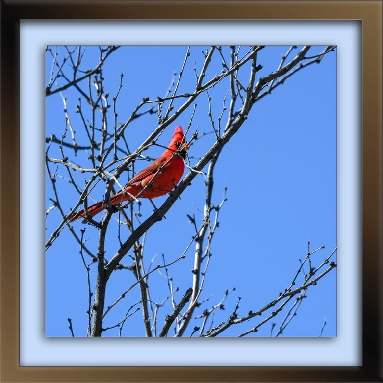 male cardinal-72