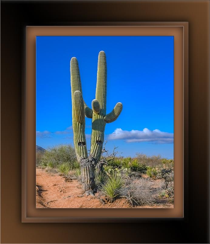 saguaro-72