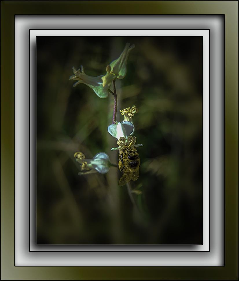 Bee On Lyreleaf Jewelflower-Edit-3-72