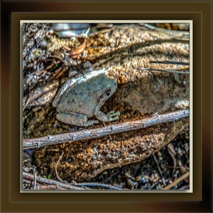 Canyon Tree Frog-72