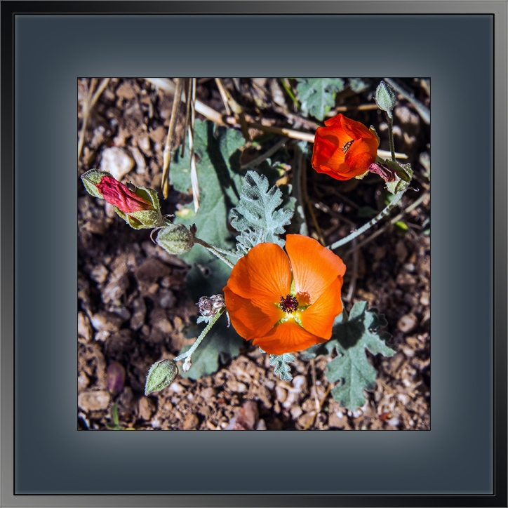 Desert Globemallow Sphaeralcea ambigua-1