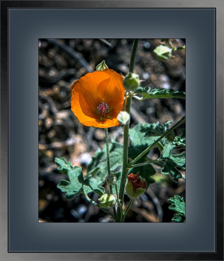 Desert Globemallow Sphaeralcea ambigua copy