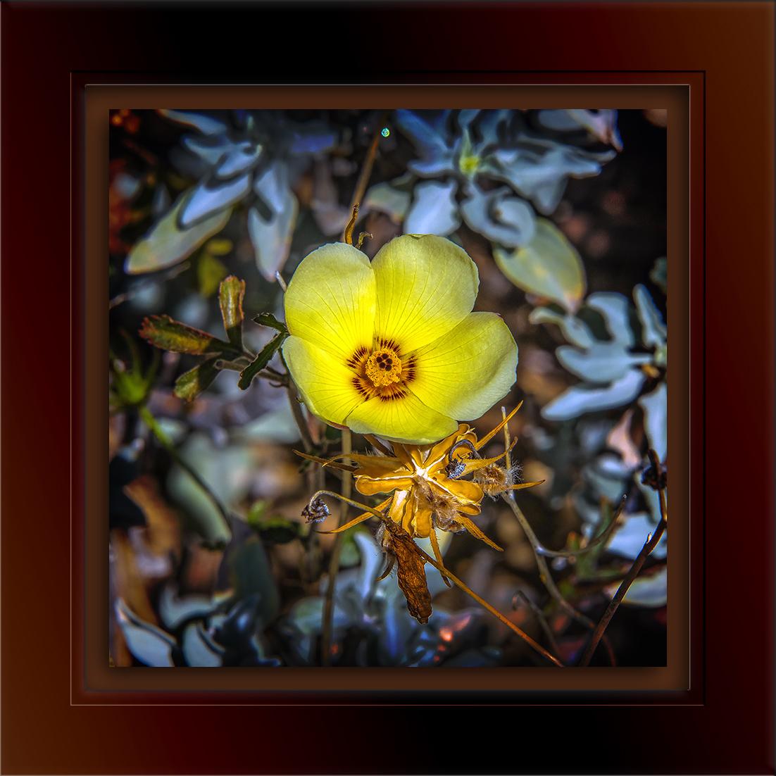 Desert Rosemallow Hibiscus coulteri-72.jpg