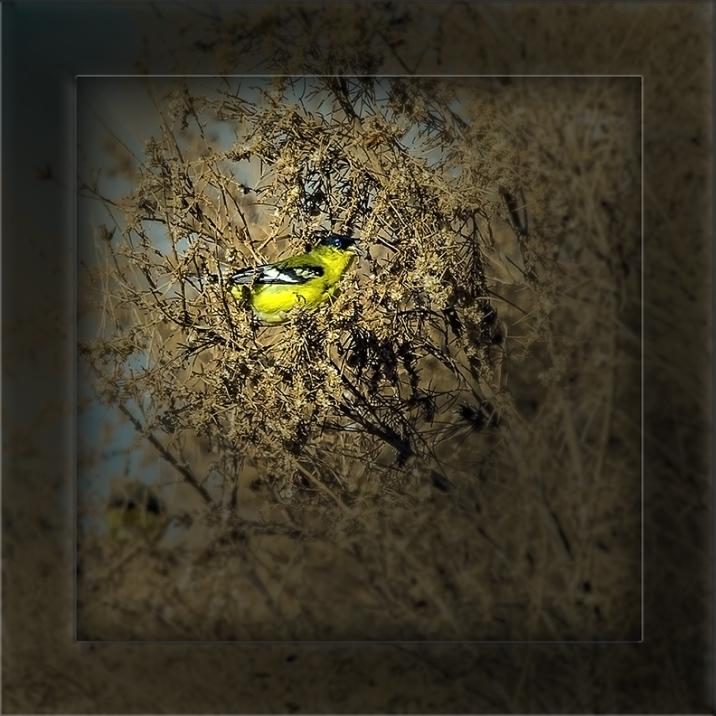 Lesser Goldfinch-art-72