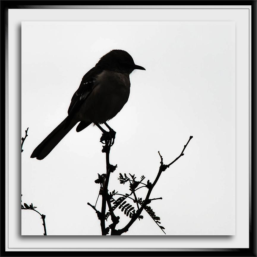 Mockingbird Silouette-72