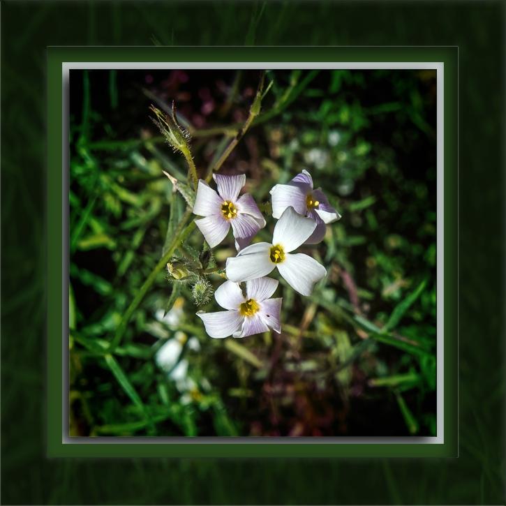 Phlox tenuifola-72
