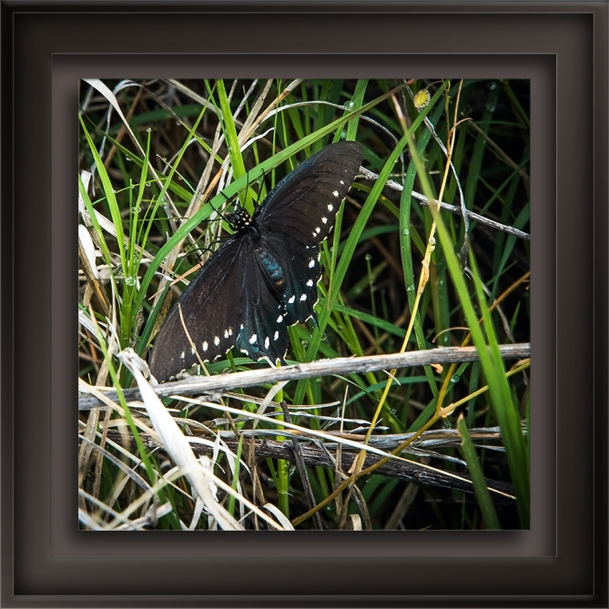 Pipevine Swallotail-72.jpg