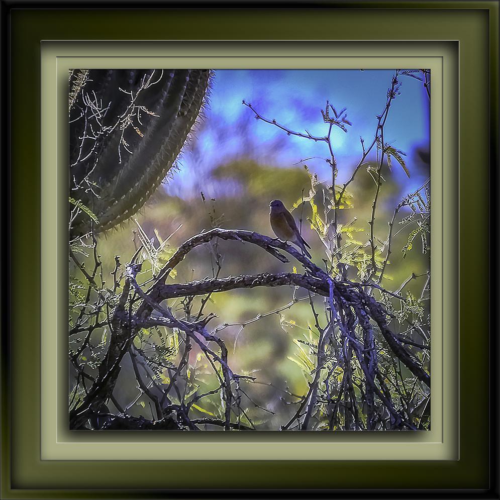 Weastern Bluebird-Edit-1-72