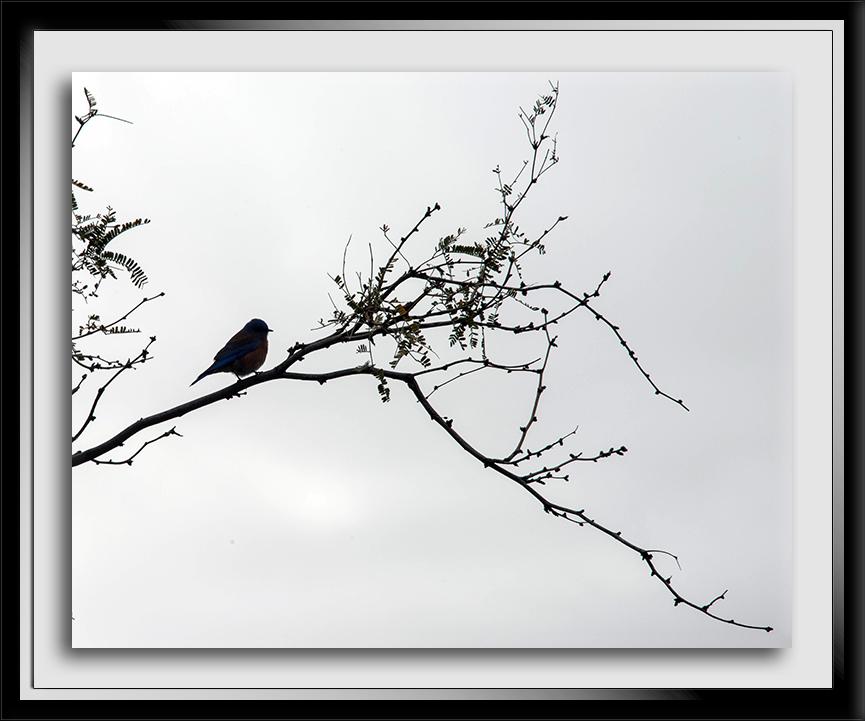 Western Bluebird Silhouette-72