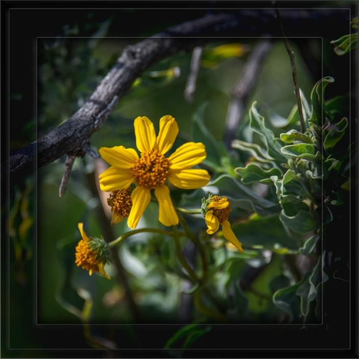 Brittlebush (Sunflower)-72