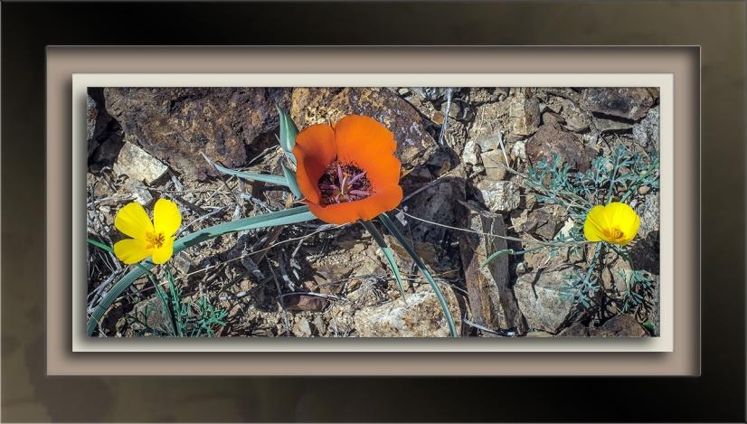 desert mariposa lily (1 of 1)-4-72