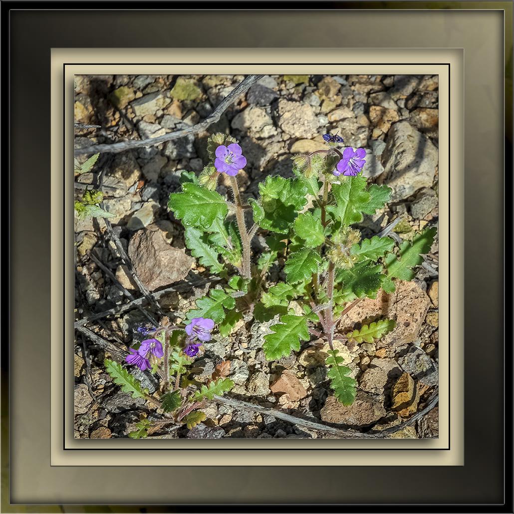 Phacelia crenulata--Phacelia crenulata-72