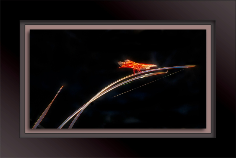 Red-veined darter-Edit-2-art-72
