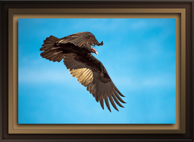 Turkey Vultures (1 of 1)-60-72