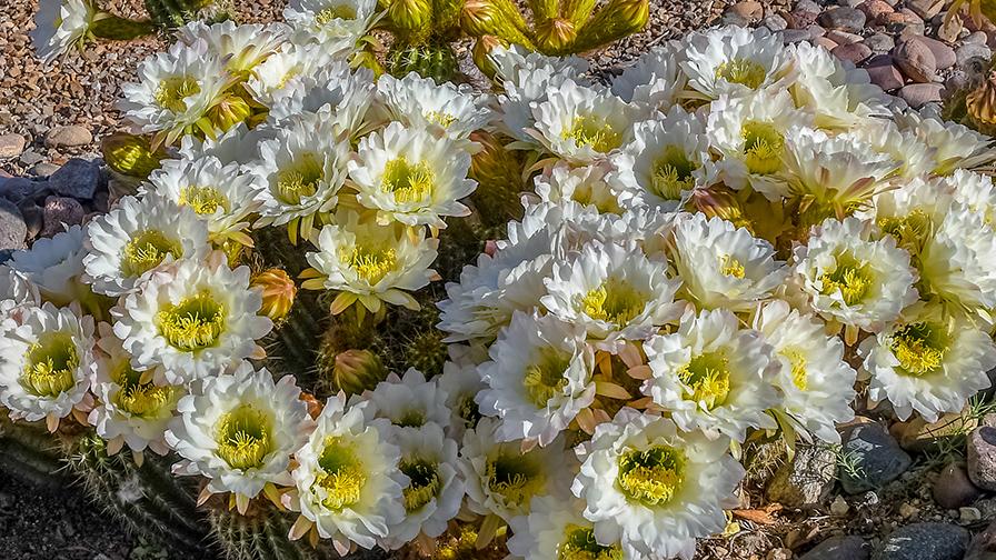 Cactus Flowers April 27, 2019--2-72