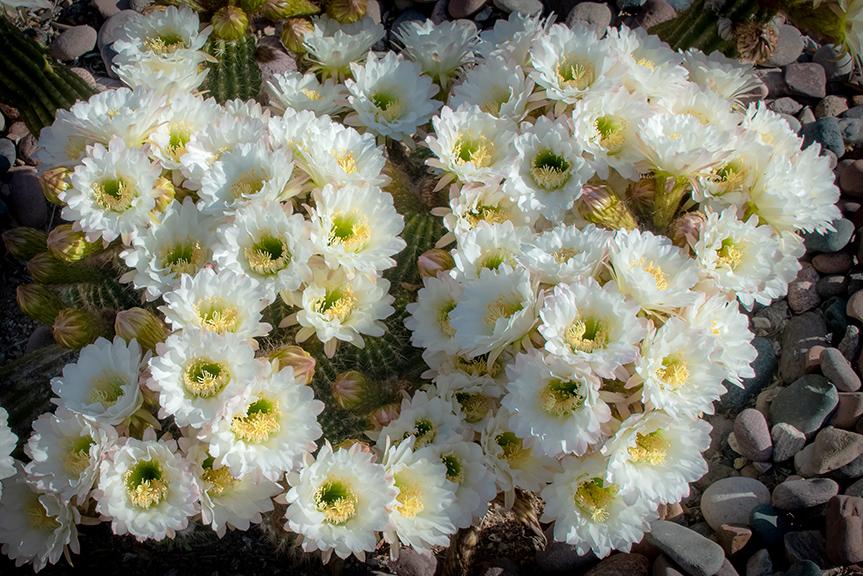Cactus Flowers April 27, 2019-4-4-72