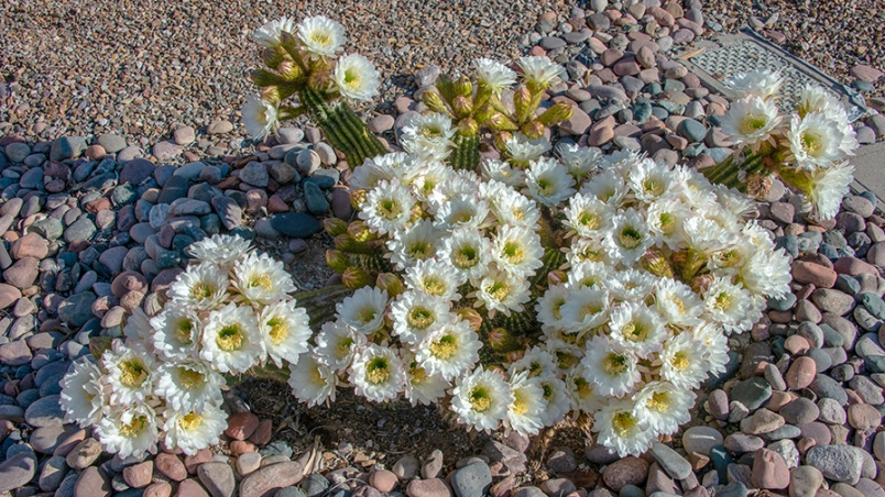 Cactus Flowers April 27, 2019--4-72