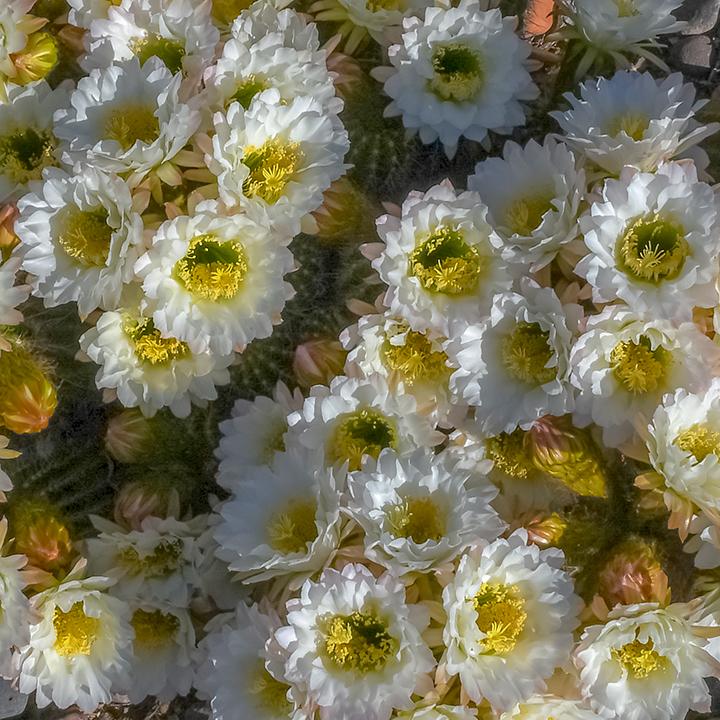 Cactus Flowers April 27, 2019-6-3-72