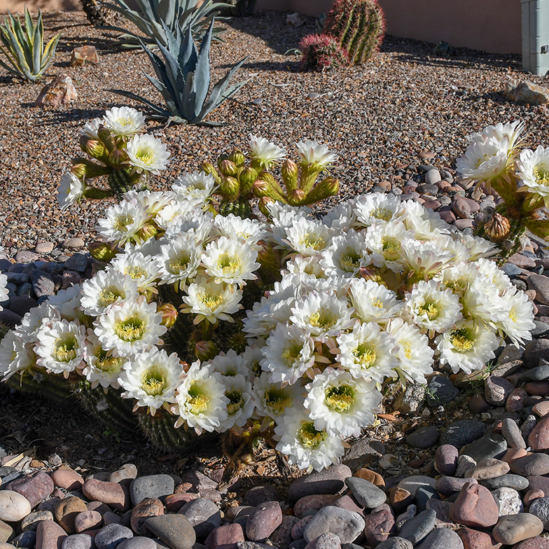 Cactus Flowers April 27, 2019-72
