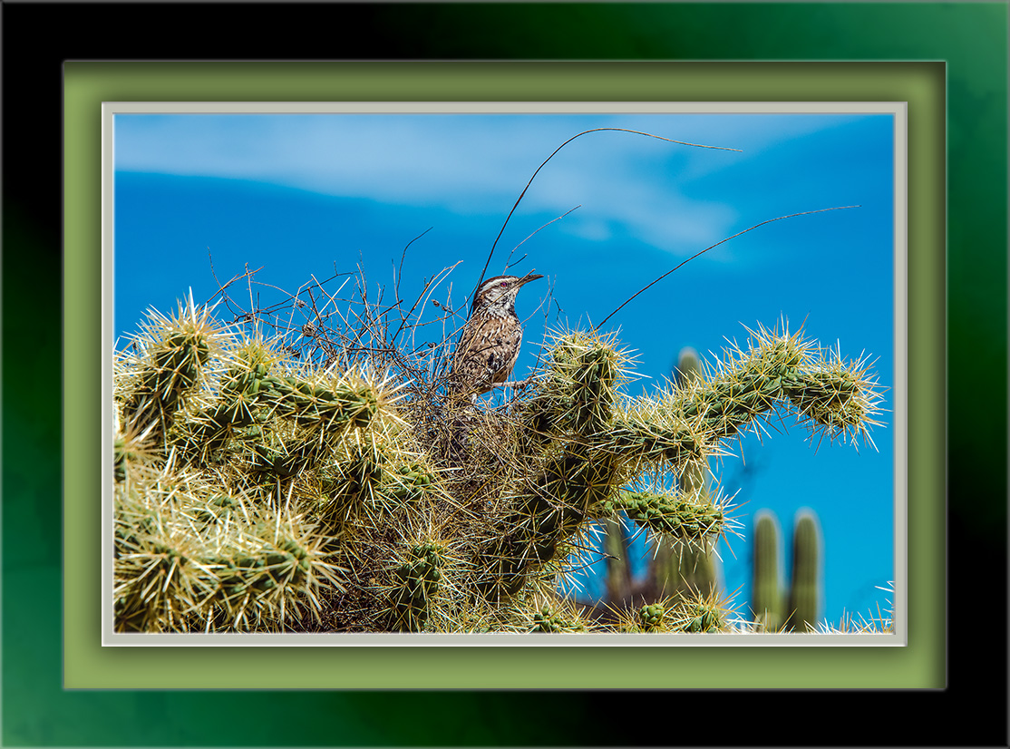 Cactus Wren-72